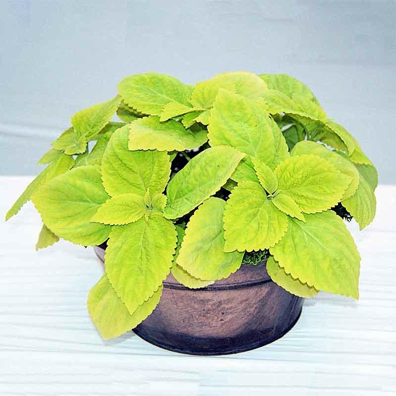Fröer till krukväxten palettblad lime light