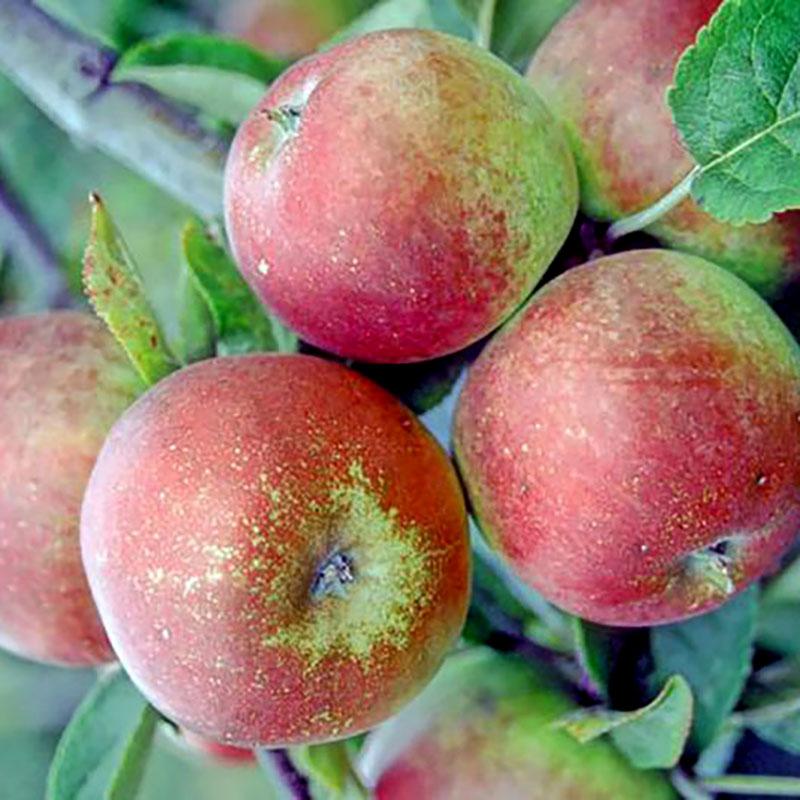 Ympris till äpple 'Åkerö'