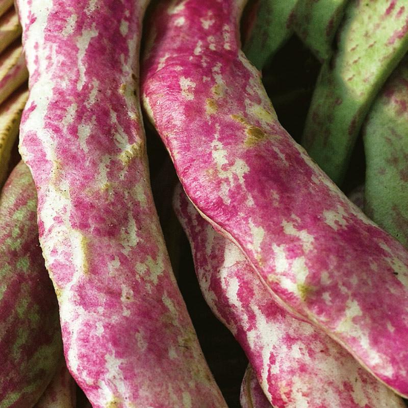 Ekologiskt frö till Böna - Borlotto Lingua Di Fuoco Nano