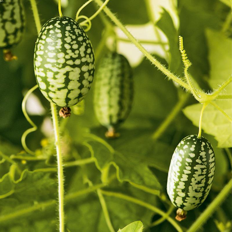 Fröer till Djungelgurka - Mexican Sour Gherkin