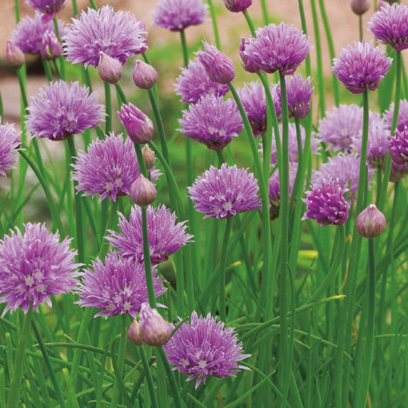 Frö till Gräslök -  Allium Schoenoprasum
