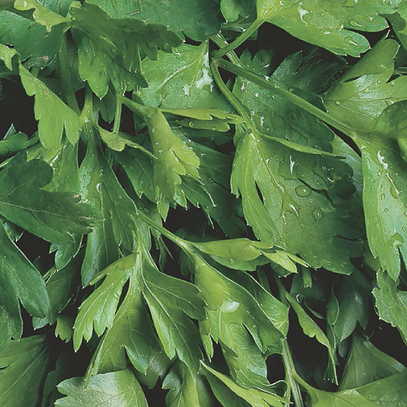 Ekologiskt frö till Persilja, Slätbladig - Gigante d