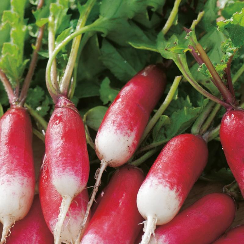 Ekologiskt frö till Rädisa - Patricia