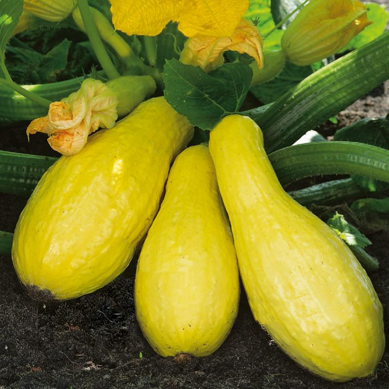 Fröer till Squash - Goldena Yellow