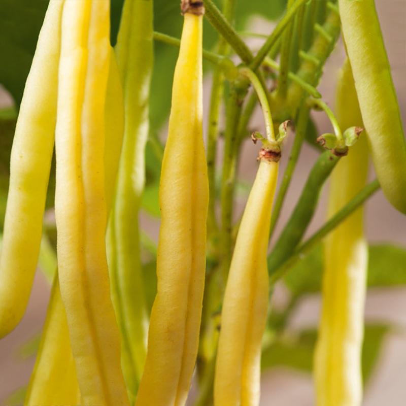 Ekologiskt frö till Vaxböna - Fructidor