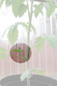 Så här ser en tomattjyv ut