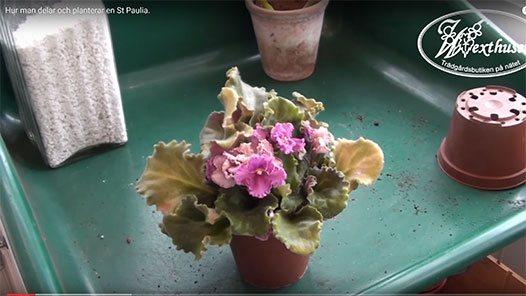 Hur man delar och planterar en St Paulia.